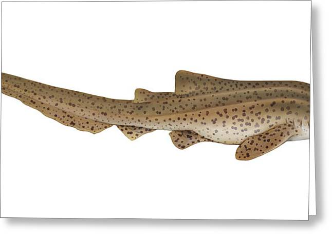 White Shark Greeting Cards - Illustration Of A Zebra Shark Greeting Card by Carlyn Iverson