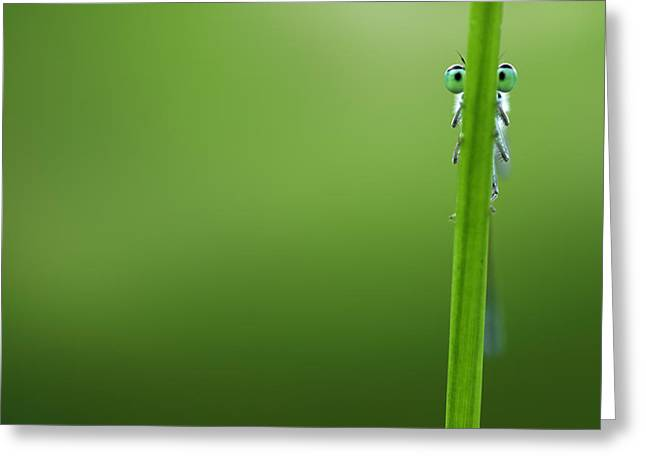 Damselfly Greeting Cards - Im Hiding Greeting Card by Roeselien Raimond