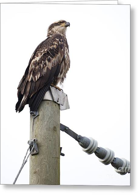 Immature Greeting Cards - Immature Bald Eagle Greeting Card by Chris Dutton