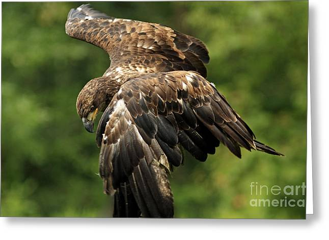 Shelley Myke Greeting Cards - Immature Bald Eagle Greeting Card by Inspired Nature Photography By Shelley Myke