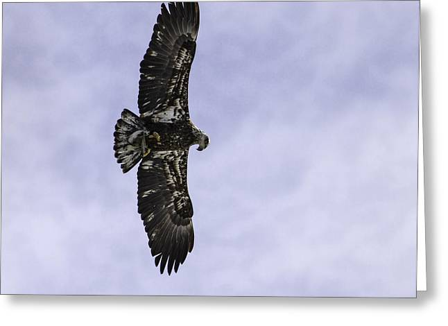 Immature Greeting Cards - Immature Bald Eagle With A Fish Greeting Card by Thomas Young