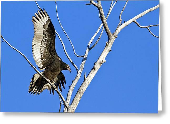 Immature Turkey Vulture Greeting Card by Merle Ann Loman