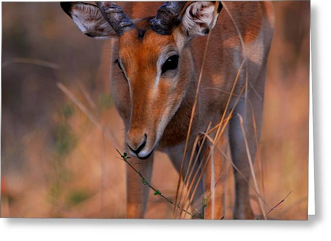 Stefan Carpenter Greeting Cards - Impala Grazing Greeting Card by Stefan Carpenter