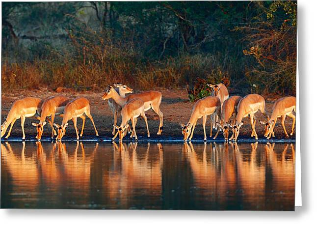 Drinking Water Greeting Cards - Impala herd with reflections in water Greeting Card by Johan Swanepoel