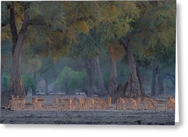 Impalas At Dawn Greeting Card by Giovanni Casini