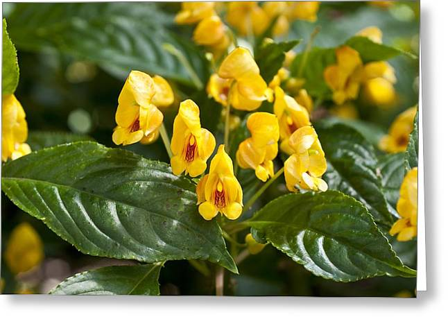 Impatiens Greeting Cards - Impatiens auricoma Jungle Gold Greeting Card by Science Photo Library