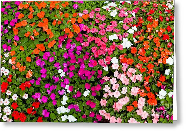 Impatiens Flowers Greeting Cards - Impatiens Greeting Card by Tim Holt