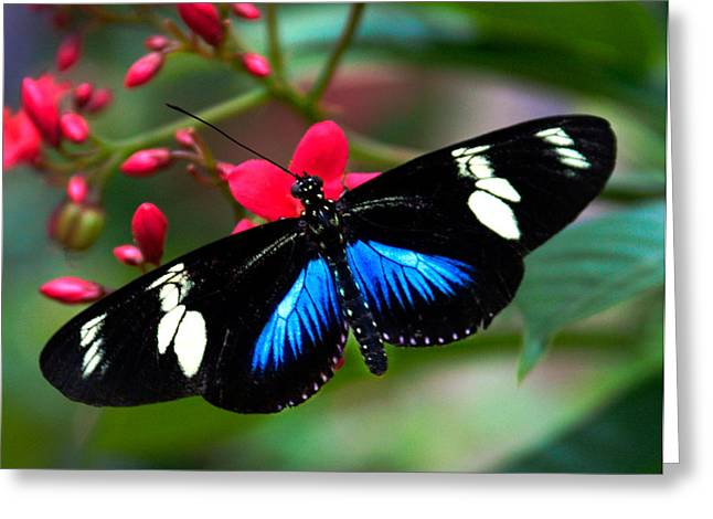 Vlinder Greeting Cards - Imperfect Beauty in Black and Blue on Red Greeting Card by Karen Stephenson