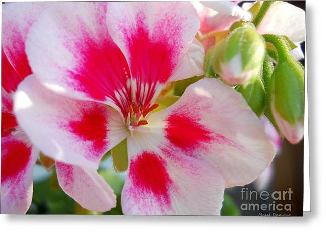 Pinks And Purple Petals Photographs Greeting Cards - Imperial Beauty Greeting Card by Ramona Matei