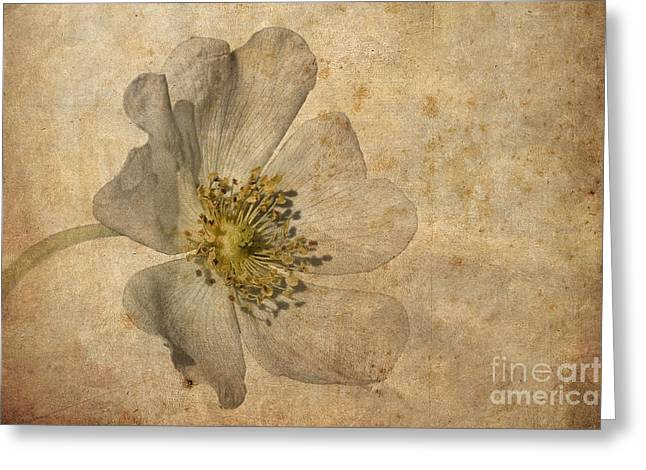 Wild Roses Greeting Cards - Impression Greeting Card by John Edwards