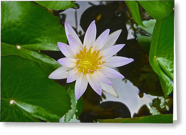 Lilly Pads Greeting Cards - In Bloom Greeting Card by Deep Matharu