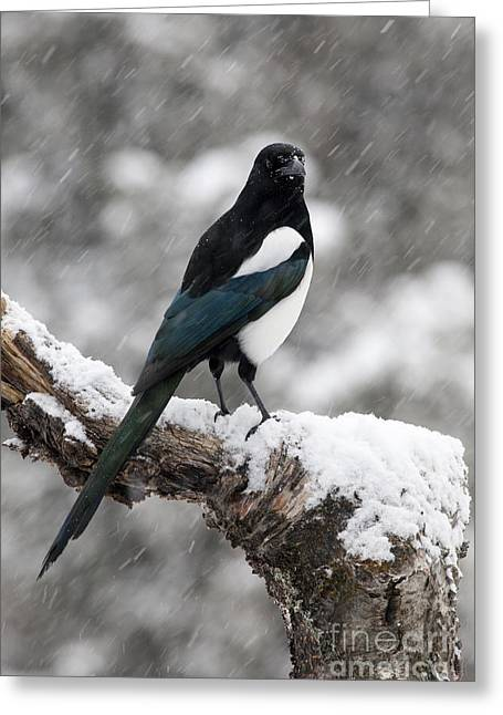 Magpies Greeting Cards - In Falling Snow Greeting Card by Tim Grams