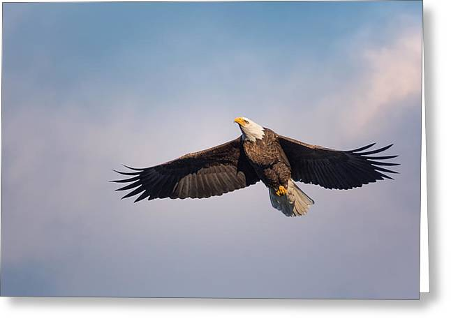 Eagle In Flight Greeting Cards - In Flight Bald Eagle Greeting Card by Bill Wakeley