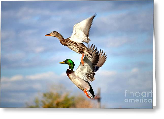 Flocks Of Ducks Greeting Cards - In-Flight Greeting Card by Deb Halloran