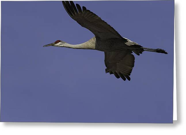 Sandhill Cranes Greeting Cards - In Flight Greeting Card by Thomas Young