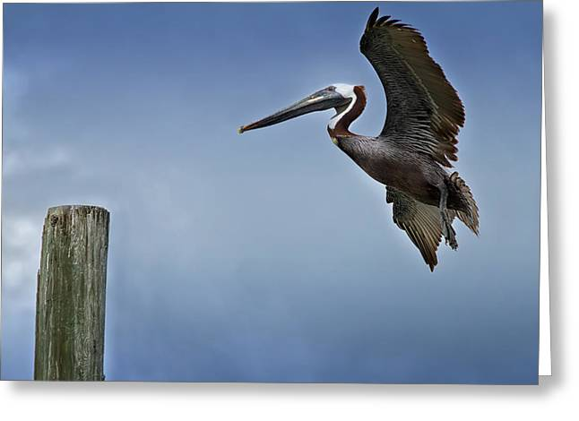 Seabirds Greeting Cards - In For A Landing Greeting Card by Kim Hojnacki