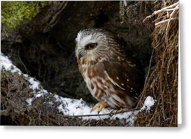 Shelley Myke Greeting Cards - In Hiding Saw Whet Owl in a Hollow Stump is part of the Birds of Prey Fine Art Raptor Wildlife Photo Greeting Card by Inspired Nature Photography By Shelley Myke