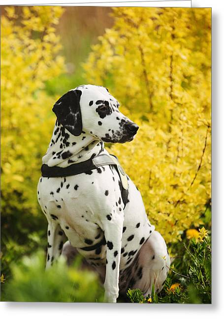 Spotted Dogs Greeting Cards - In Joyful SpringTime. Dalmation. Kokkie Greeting Card by Jenny Rainbow