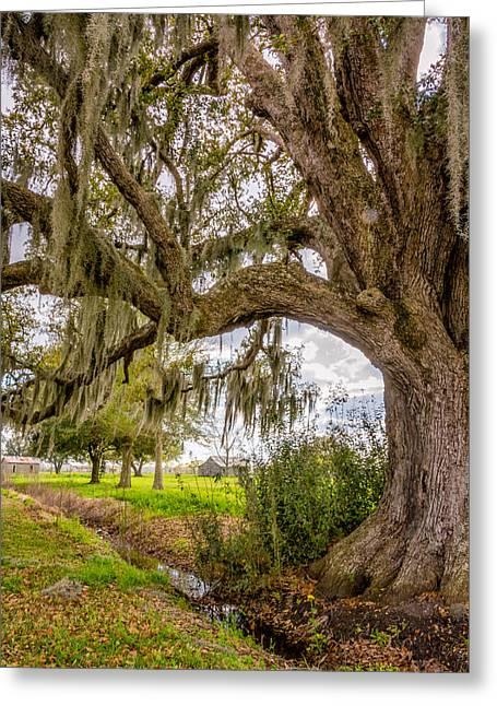 Evergreen Plantation Photographs Greeting Cards - In Praise of Live Oaks Greeting Card by Steve Harrington