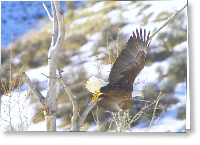 Eagle In Flight Greeting Cards - In Take Off  Greeting Card by Jeff  Swan