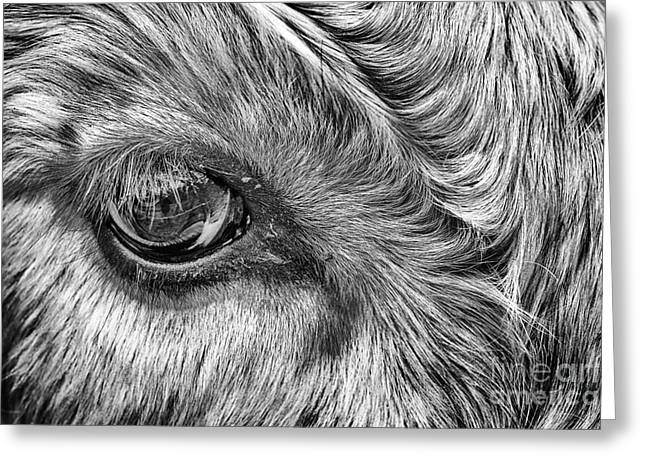 Steer Greeting Cards - In The Eye Greeting Card by John Farnan
