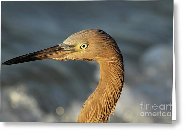 Sea Birds Greeting Cards - In The Eye Of The Reddish Greeting Card by Christiane Schulze Art And Photography