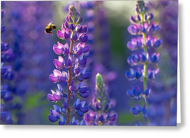 In The Land Of Lupine Greeting Card by Mary Amerman