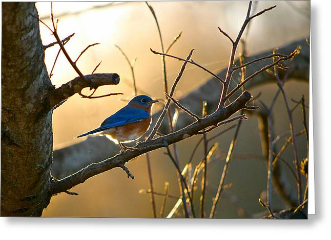 Eastern Bluebird Greeting Cards - In the Light Greeting Card by Shelby  Young