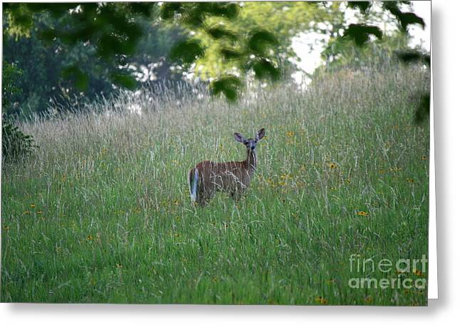 Connecticut Greeting Cards - White-Tailed Deer In Meadow  Greeting Card by Neal  Eslinger