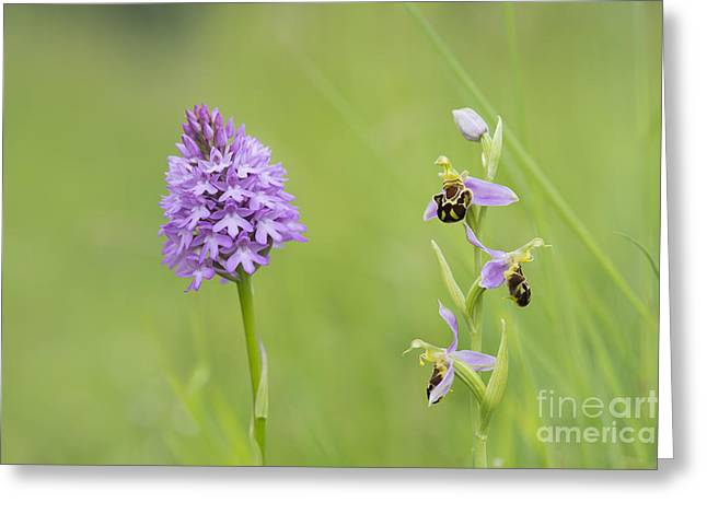 Wild Orchid Greeting Cards - In the Meadow  Greeting Card by Tim Gainey