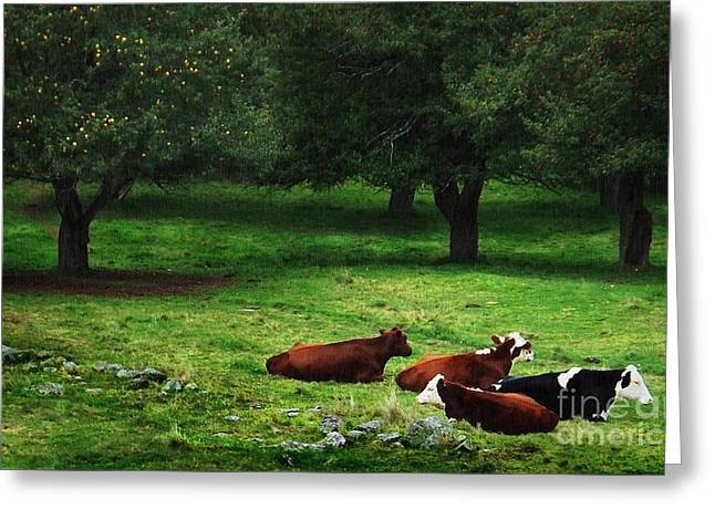 Maine Agriculture Greeting Cards - In The Orchard Cows Are Resting Greeting Card by Joy Nichols