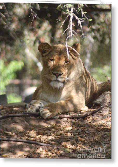 Lioness Greeting Cards - In the shade Greeting Card by Lora Wood