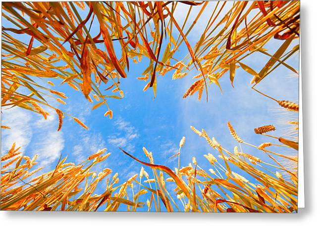 In the wheat Greeting Card by Alexey Stiop