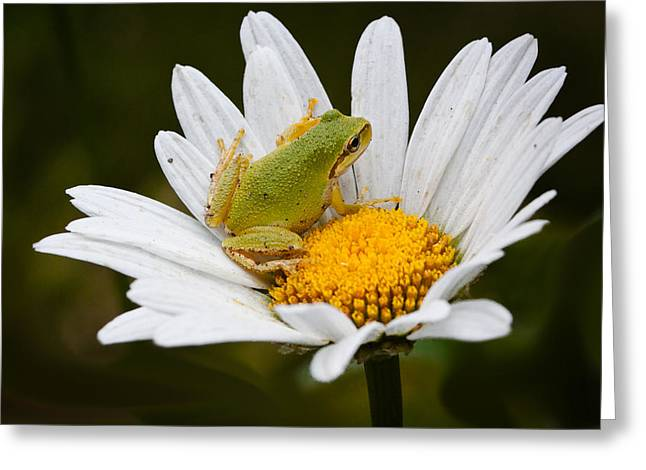 Pacific Tree Frog Greeting Cards - In The White Daisy Greeting Card by Marvin Mast