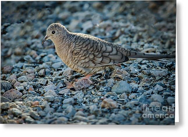 Feeding Birds Greeting Cards - Inca Dove Greeting Card by Robert Bales
