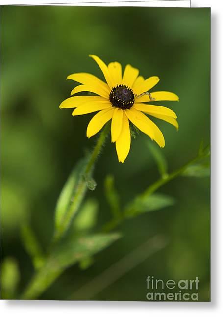Black Eyes Greeting Cards - Inchworm on a Black Eyed Susan Greeting Card by Diane Diederich