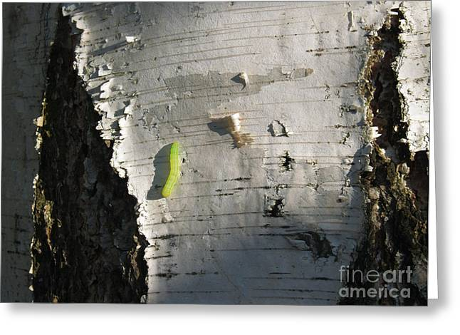 Pupa Greeting Cards - Inchworm on Paper Birch Greeting Card by Anna Lisa Yoder