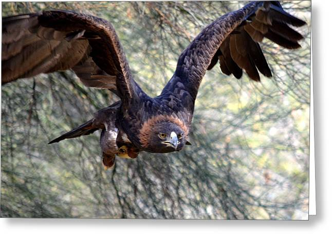 Eagle In Flight Greeting Cards - Incoming Golden 2 Greeting Card by Fraida Gutovich