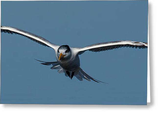 Tern Greeting Cards - Incoming IV Greeting Card by Brian Manley