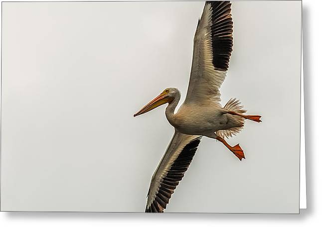 Flying White Pelicans Greeting Cards - Incoming Pelican Greeting Card by Paul Freidlund