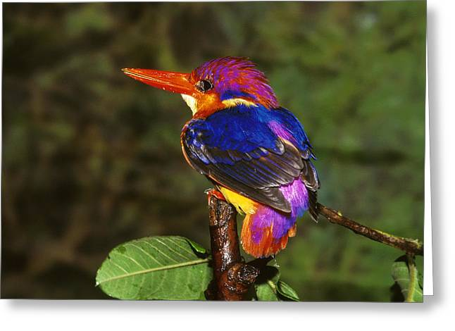 Full Spectrum Greeting Cards - India Three Toed Kingfisher Greeting Card by Anonymous