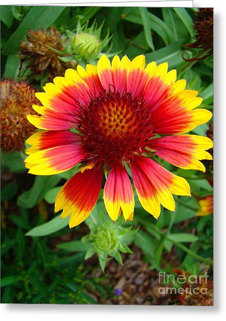 Yellow Sunflower Greeting Cards - Indian Blanket Flower Greeting Card by Sue Melvin