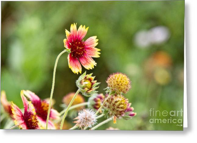 Galveston Greeting Cards - Indian Blanket Greeting Card by Scott Pellegrin