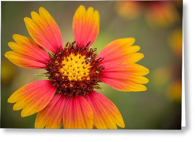 Wild Flowers Of Texas Greeting Cards - Indian Blanket Greeting Card by Tabitha Williams