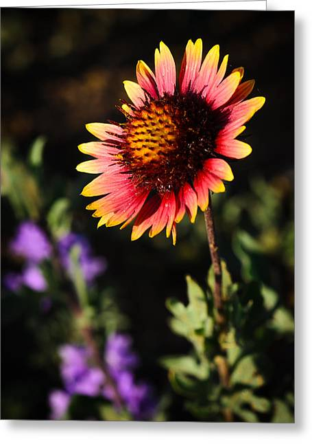 Thomas Pettengill Greeting Cards - Indian Blanket Greeting Card by Thomas Pettengill