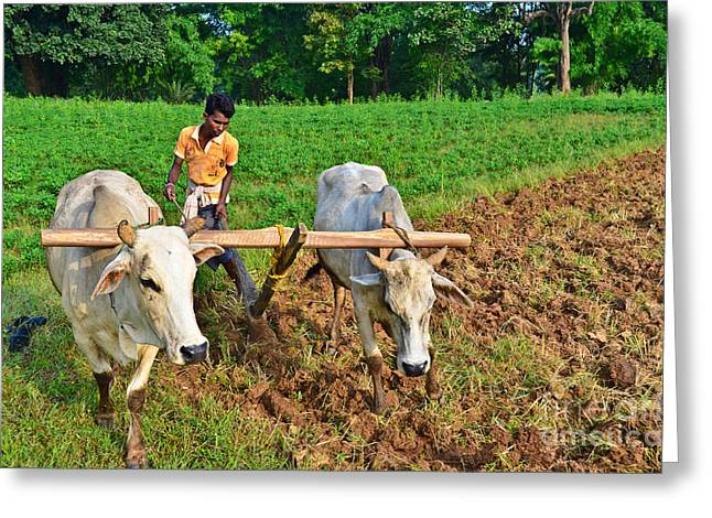 Physically Greeting Cards - Indian farmer plowing with bulls Greeting Card by Image World