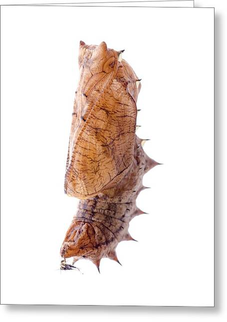 Cocoon Greeting Cards - Indian fritillary butterfly cocoon Greeting Card by Science Photo Library