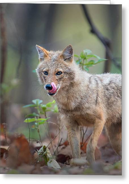 Sticking Out Greeting Cards - Indian Jackal Canis Aureus Indicus Greeting Card by Panoramic Images