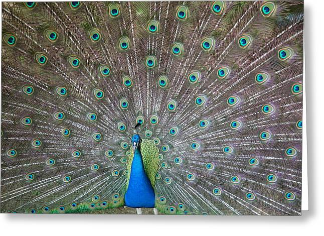 Peafowl Greeting Cards - Indian or Blue Peacock Greeting Card by Unknown