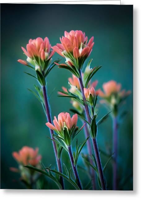 Jamesbarber Greeting Cards - Indian Paintbrush at Dawn Greeting Card by James Barber